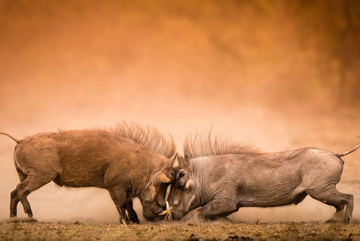 Javalis-africanos medem forças no Parque Nacional Kruger, na África do Sul.