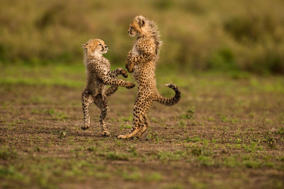 Chitas, Parque Nacional Serengeti, na Tanzânia