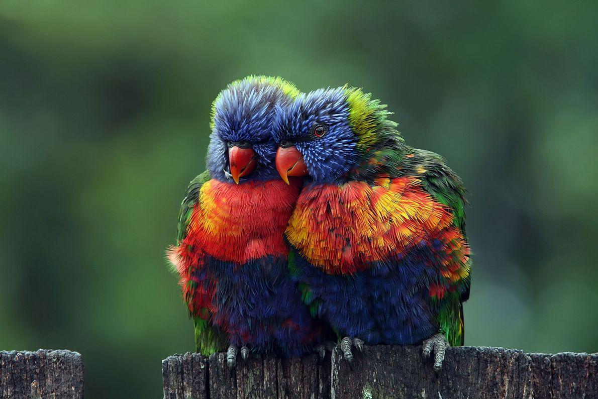 Loris-arco-íris.