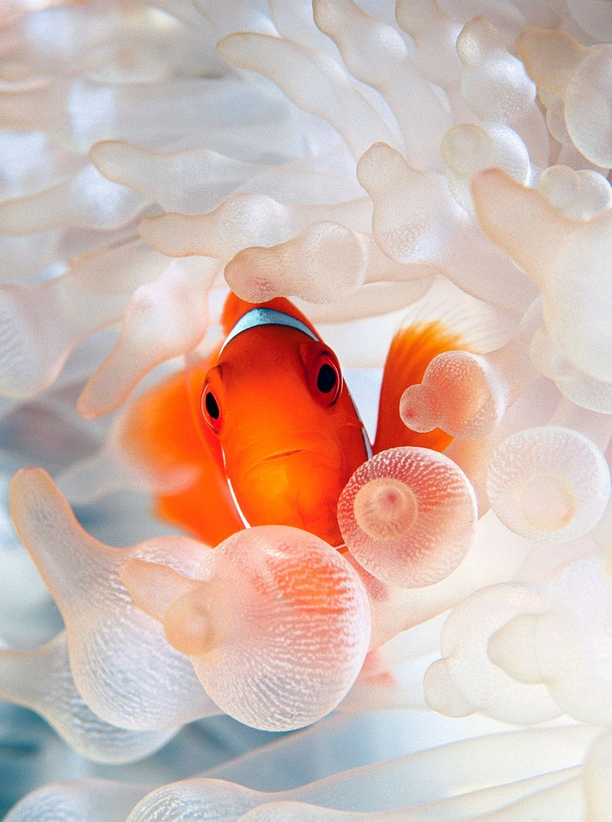 Um peixe-palhaço aninha-se numa anémona-do-mar-bolha.