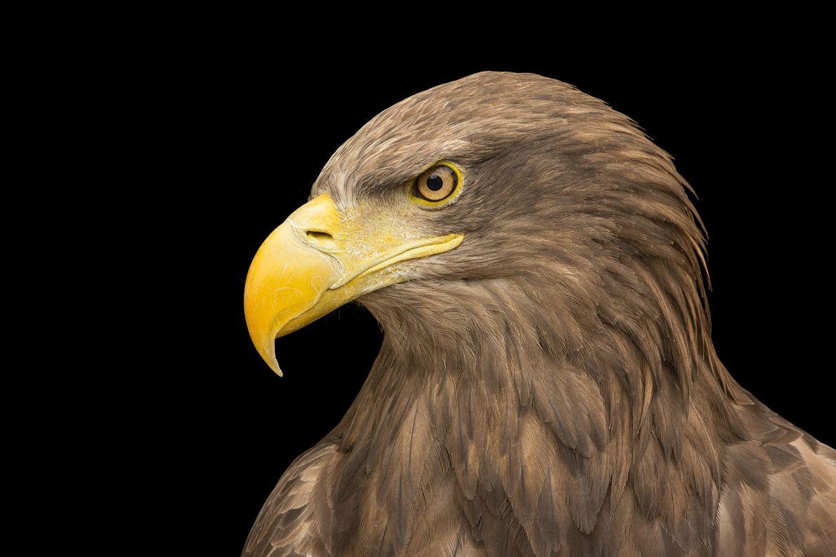 Espécies de águias - Uma águia-rabalva