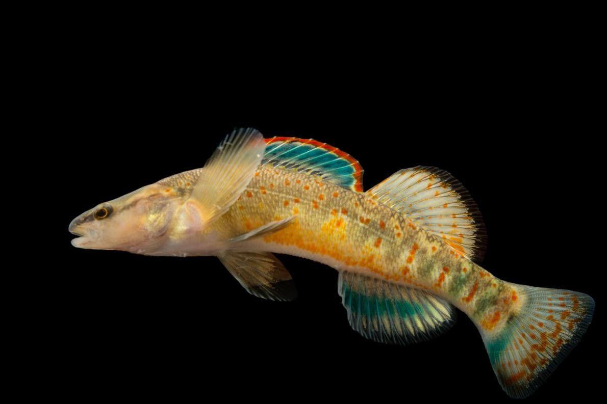 Um exemplar da espécie Etheostoma spilotum, em Conservation Fisheries.
