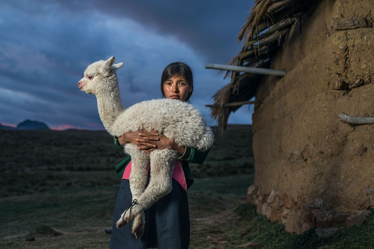 Danila, 14 anos, filha de um agricultor, segura uma jovem alpaca no Vale do Cuchurro, no ...