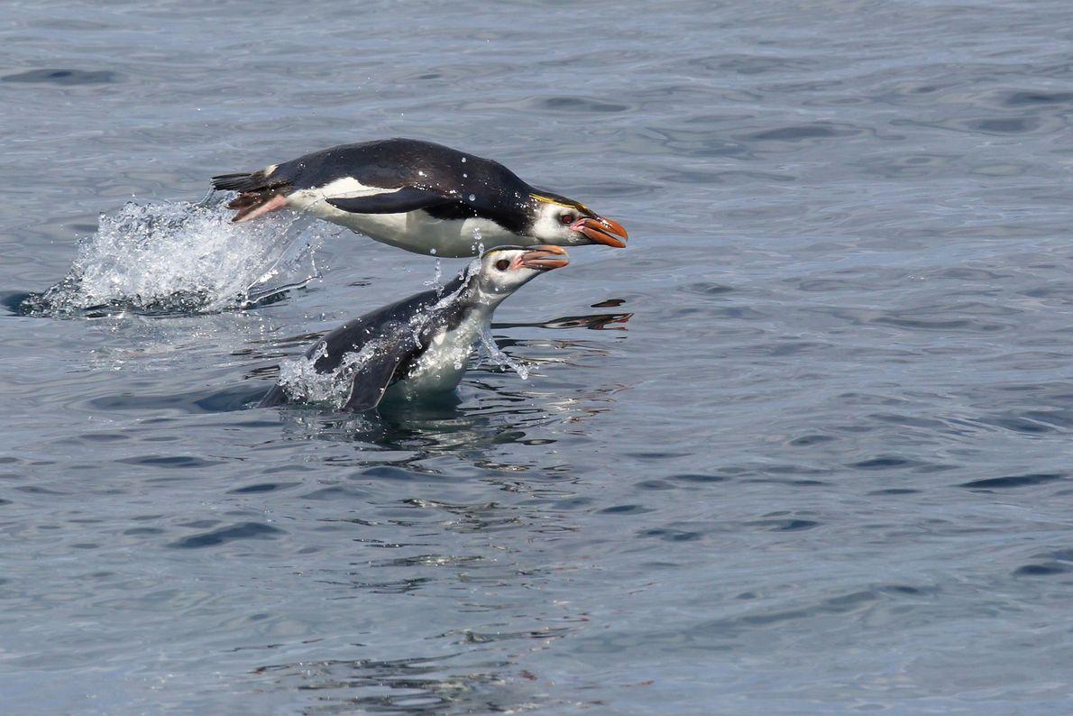 Pinguins nadam na ilha Macquarie na Nova Zelândia
