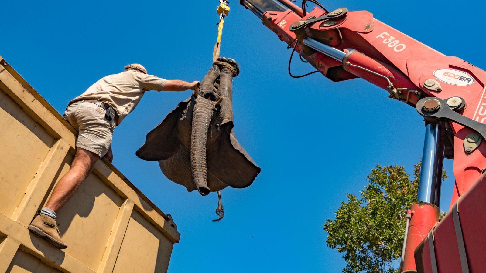 Um elefante sedado em Majete é içado