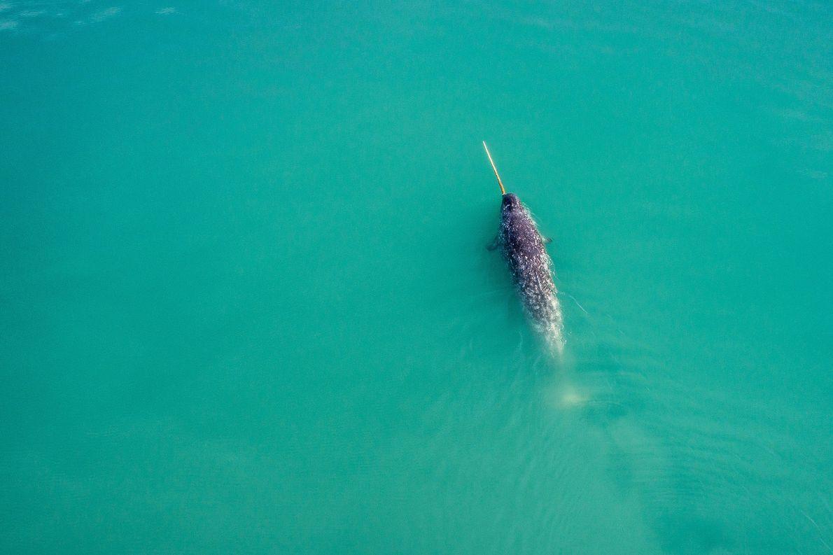 Um narval a nadar