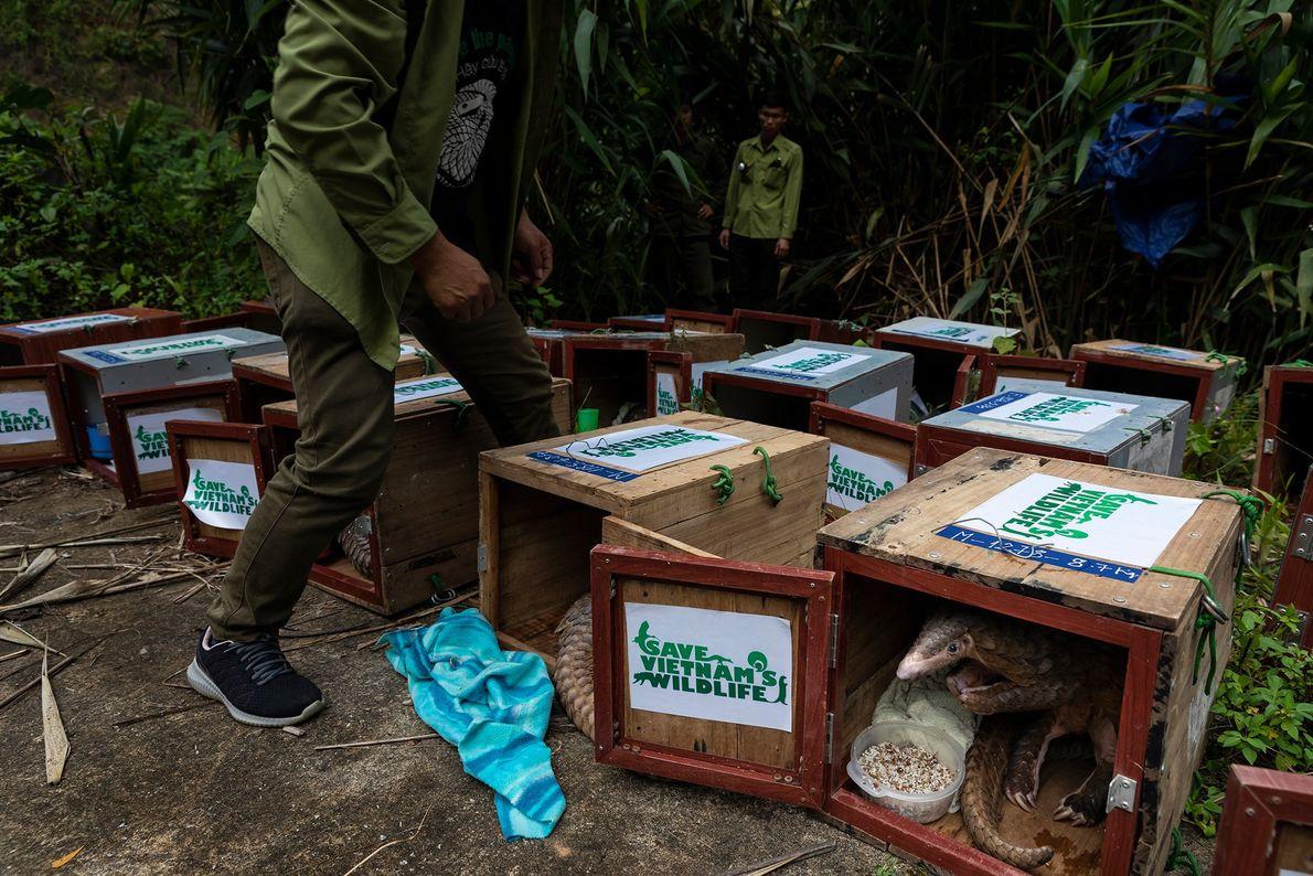 Estes pangolins, resgatados pela Save Vietnam's Wildlife, fazem a sua última refeição antes de serem devolvidos ...