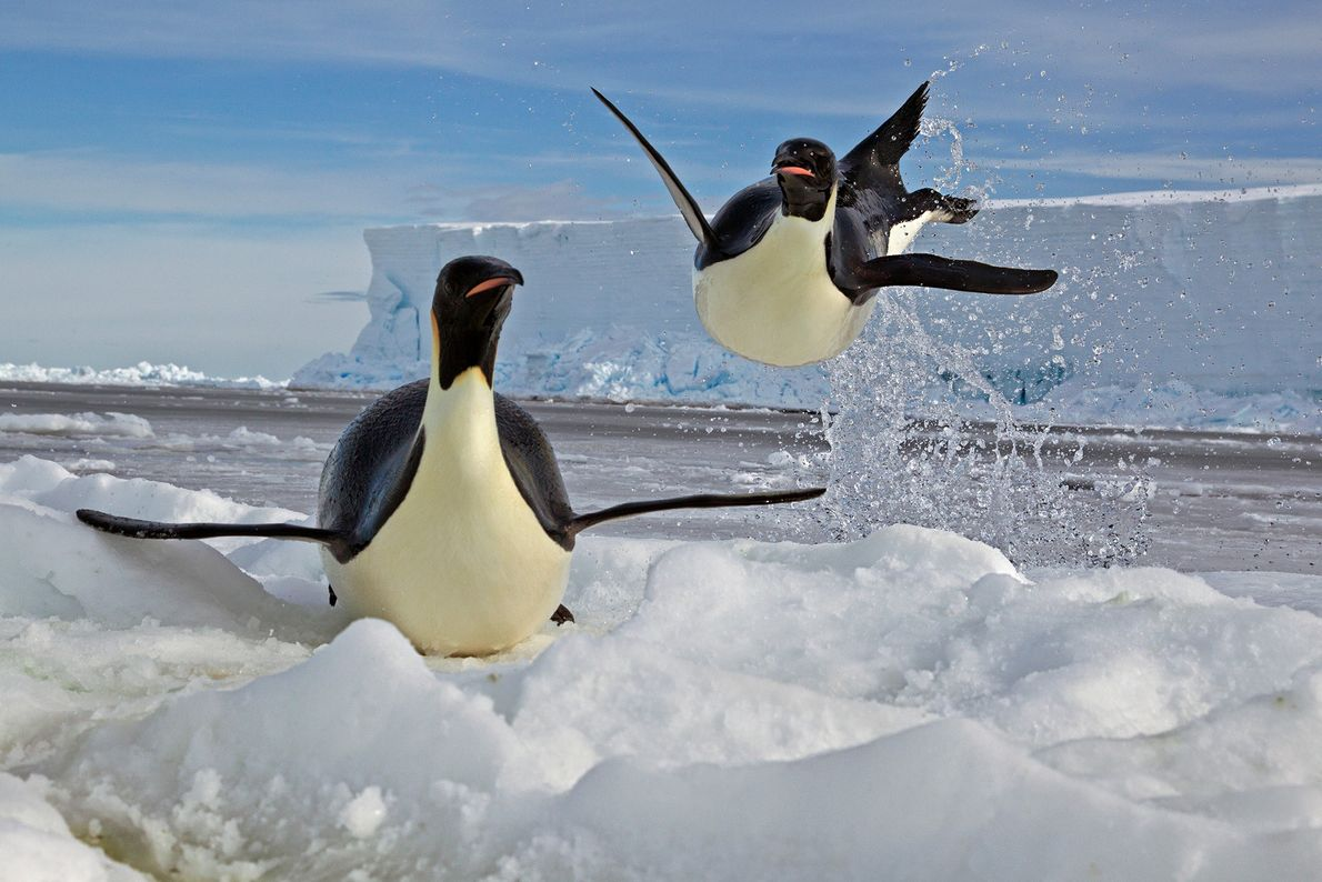 Um pinguim-imperador a aterrar numa plataforma de gelo, no Mar de Ross, na Antártida. Os pinguins-imperador ...
