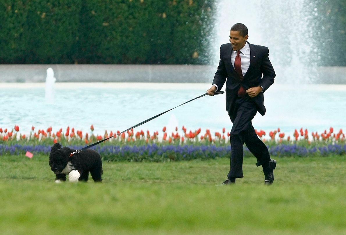 O presidente Barack Obama a correr com Bo, um cão de água português. Bo foi um ...