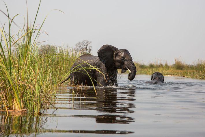 Um elefante-africano a entrar nas planícies aluviais da bacia do Okavango, para se alimentar ao longo ...