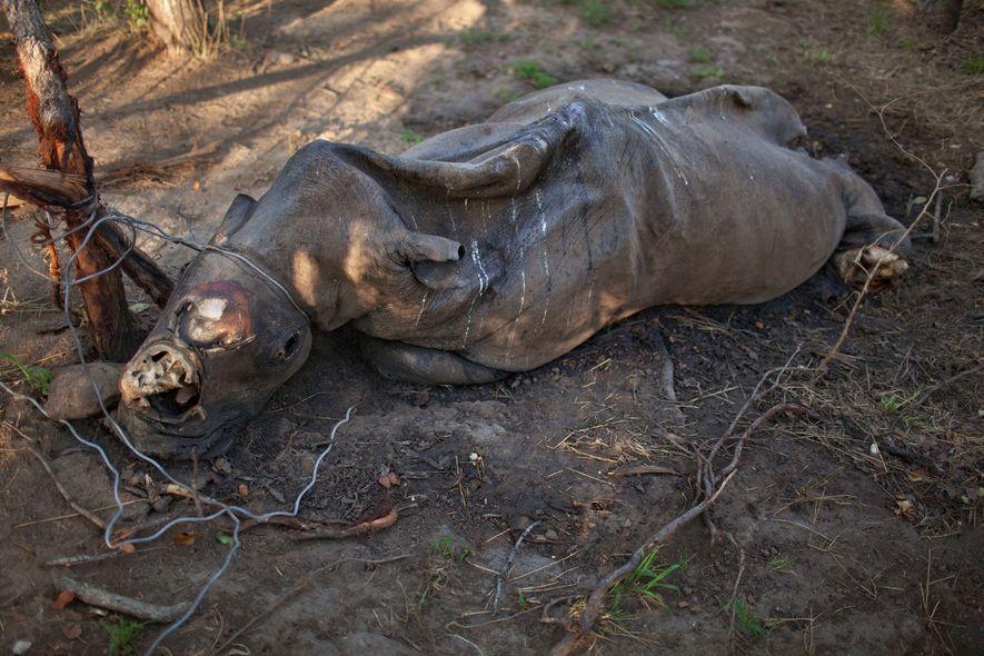 Numa reserva de caça privada perto do Parque Nacional Kruger, um rinoceronte em estado de decomposição …