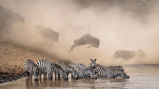 Na Reserva Nacional Masai Mara, no Quénia, as zebras procuram crocodilos enquanto gnus atravessam o rio. Fotógrafo ...