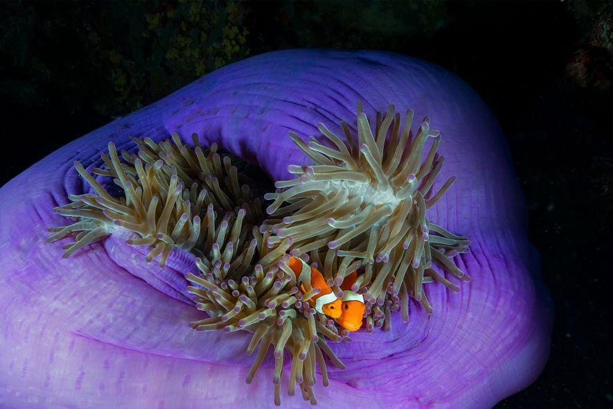 Dois peixes-palhaço aninham-se numa anémona em Tubbataha.