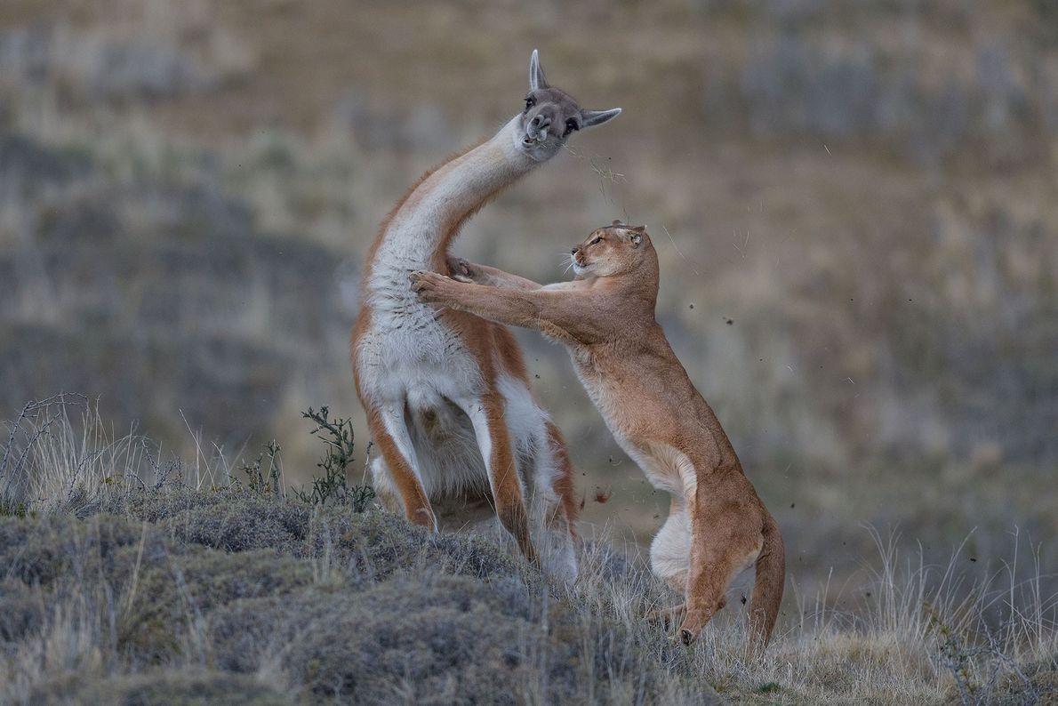 Com esta imagem de um puma fêmea a tentar derrubar um guanaco na Patagónia, fotografado para ...