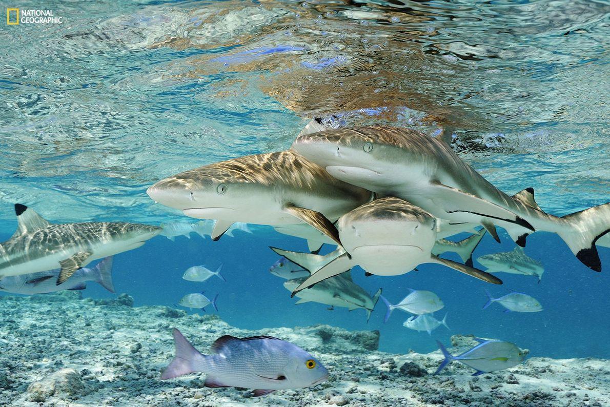 Fotografia de tubarões-de-pontas-negras-de-recife