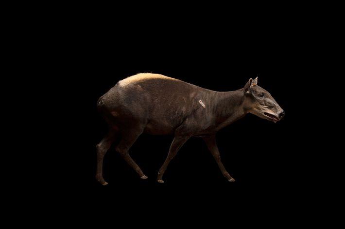 Cabra-do-mato-grande