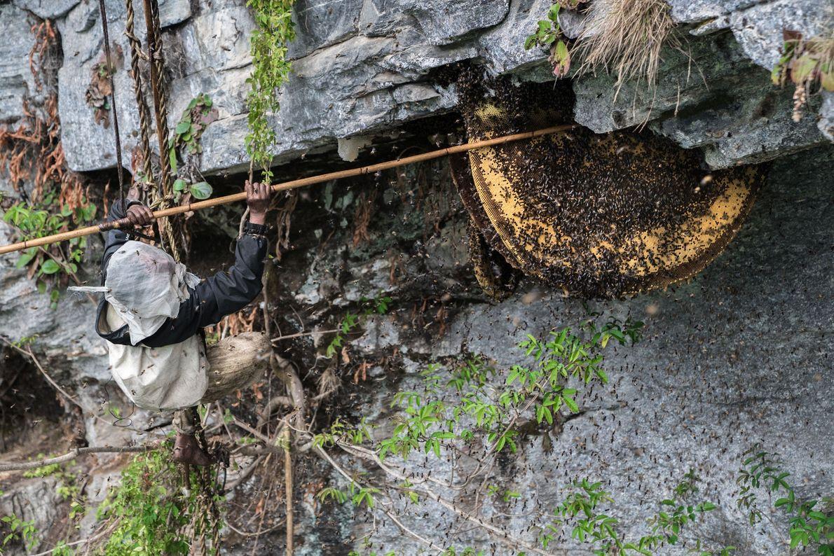Mauli Dhan executa o primeiro passo da colheita do mel