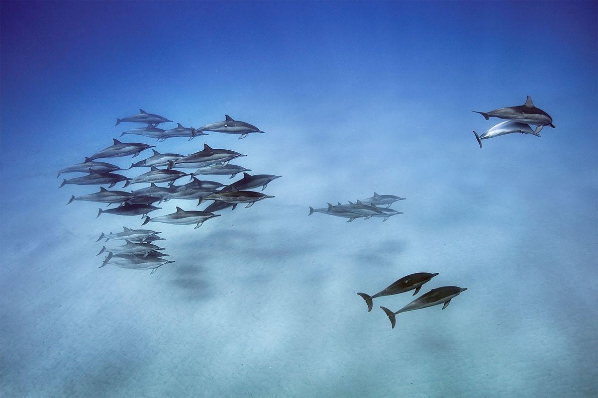 Os golfinhos-rotadores.