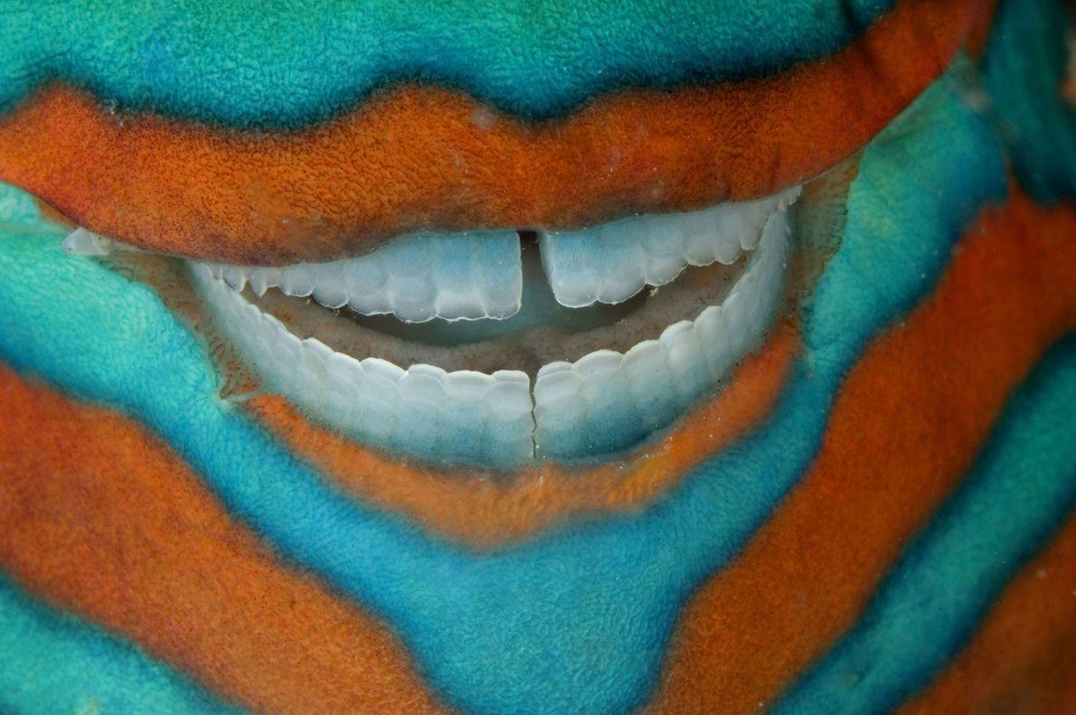 Um peixe-papagaio-de-seis-linhas.