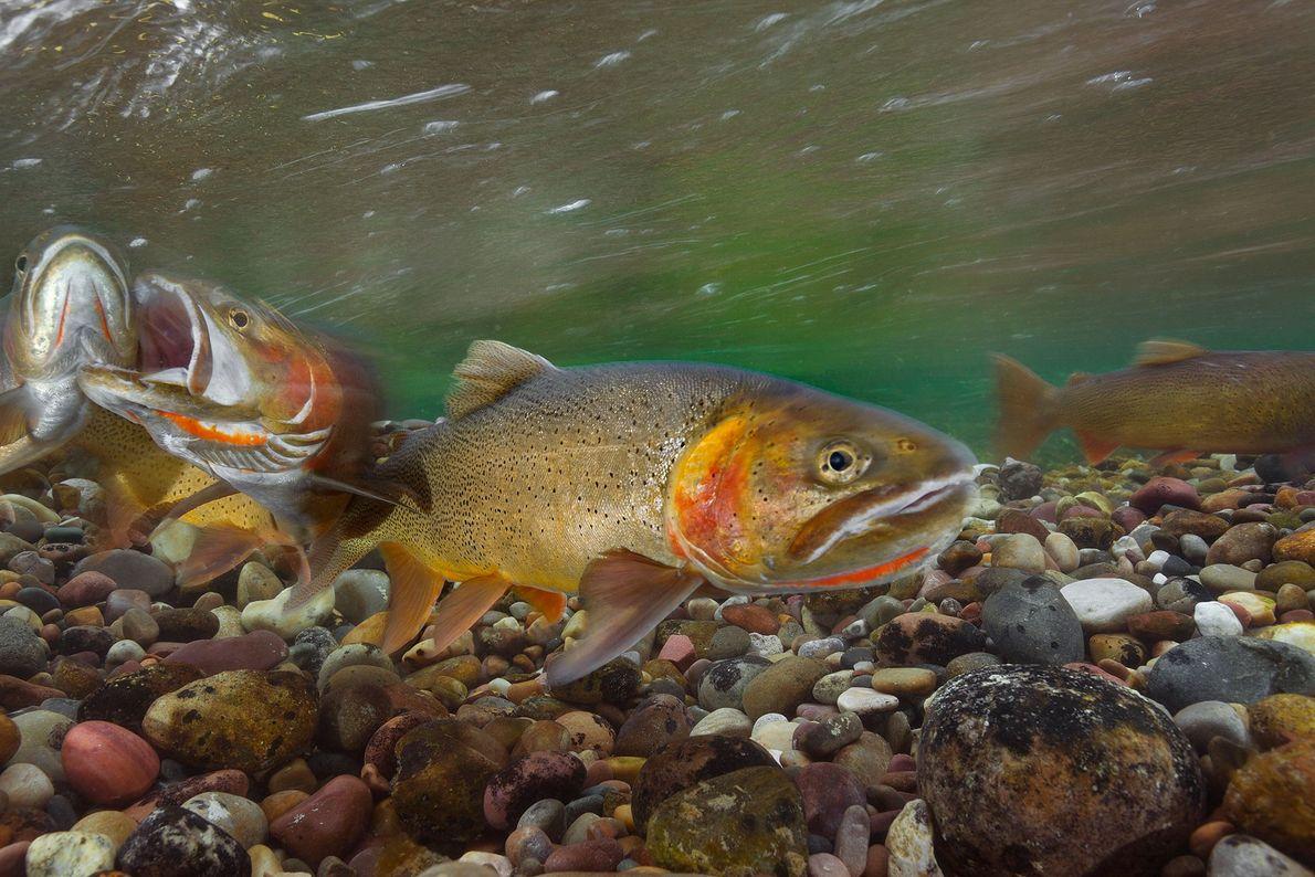 Duas trutas-de-Clark macho disputam uma fêmea durante a época da desova, no rio Gros Ventre, Jackson ...