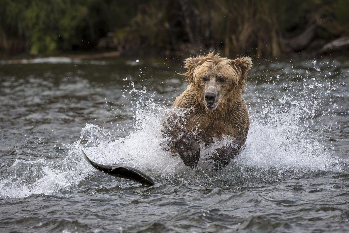 Um urso-pardo persegue um salmão