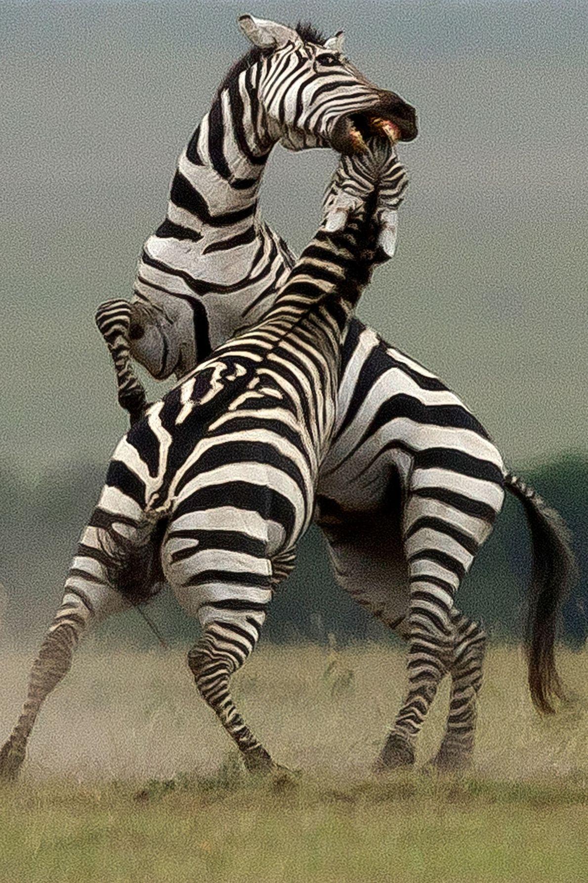 Duas zebras-da-planície investem uma contra a outra.