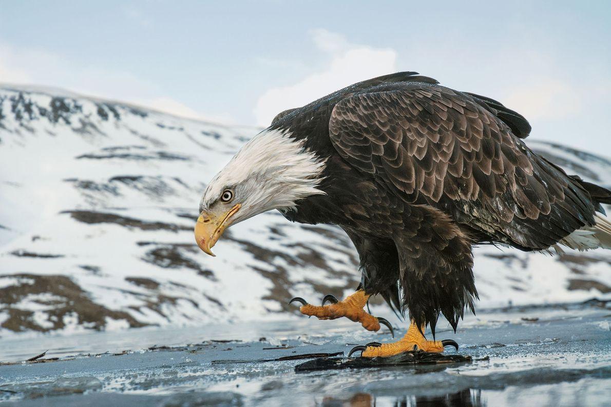 Uma águia-careca