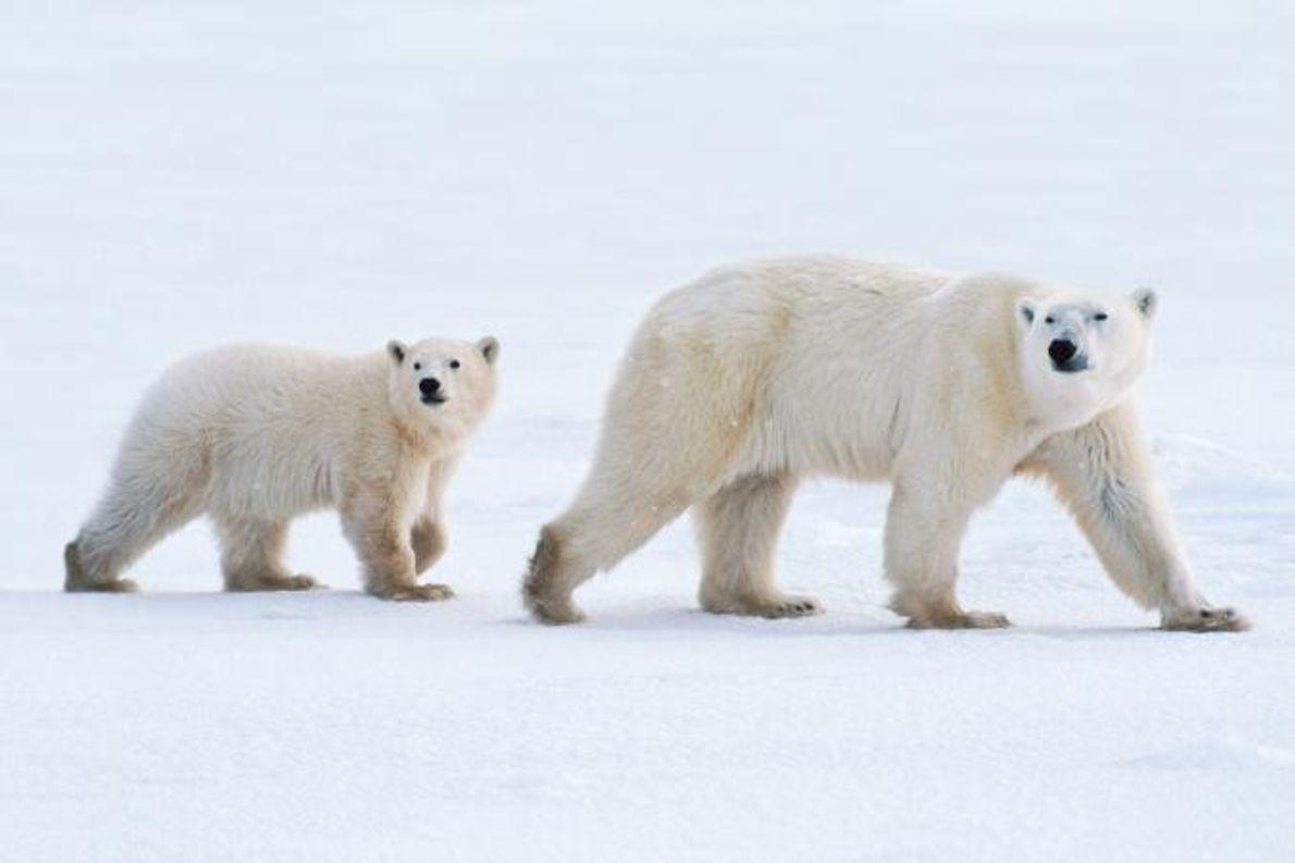 Um urso polar e a cria.