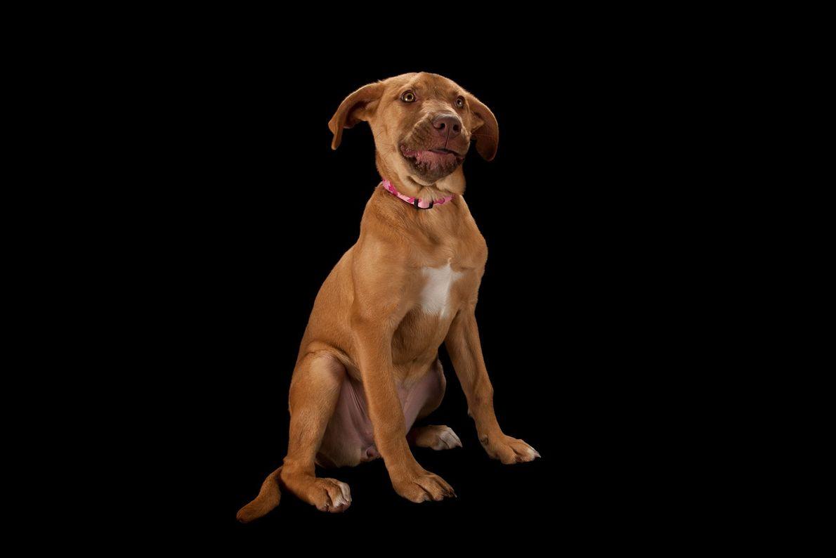 Um cão arraçado de pit bull com dois meses de idade.