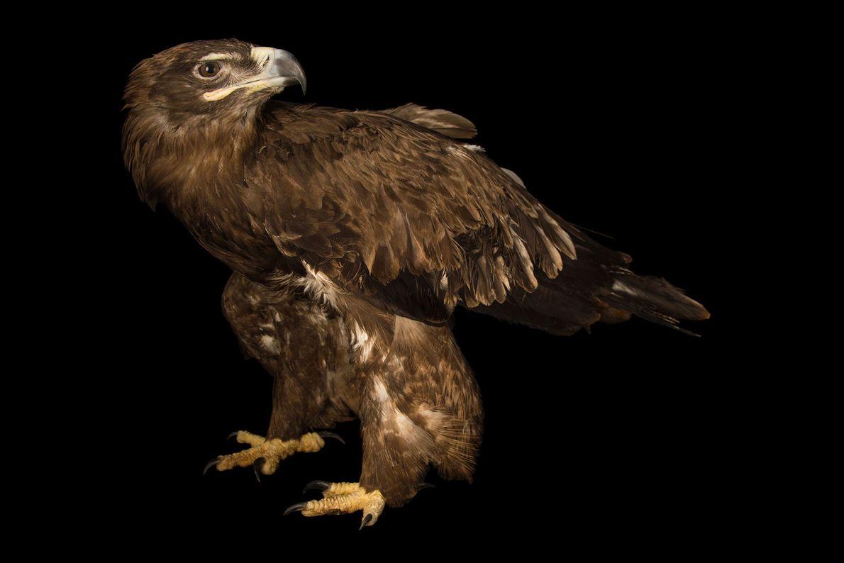 Espécies de águias - Uma águia-das-estepes