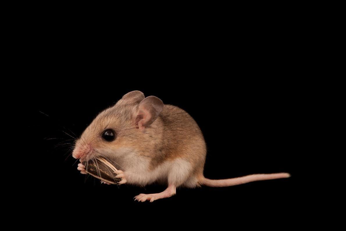 Um exemplar da espécie Peromyscus polionotus niveiventris, ameaçado a nível federal. Existem apenas alguns milhares desta ...