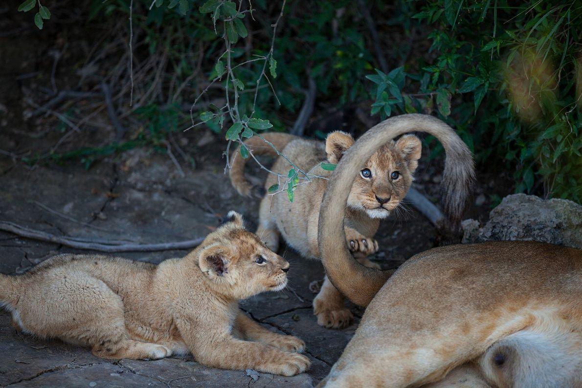 Duas crias do grupo Barafu brincam com a cauda da mãe.