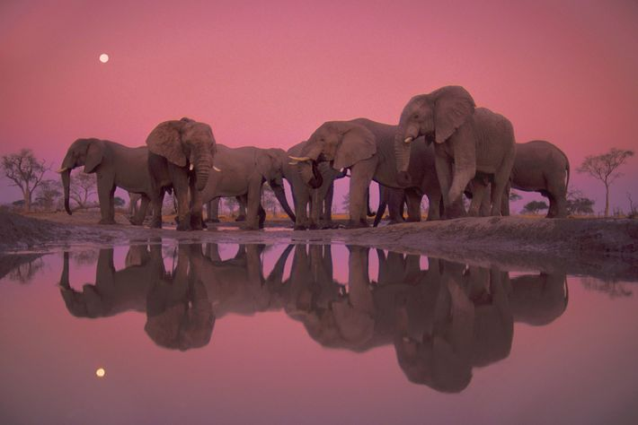 Elefantes africanos junto a um furo de água ao entardecer no Parque Nacional de Chobe, Botswana.