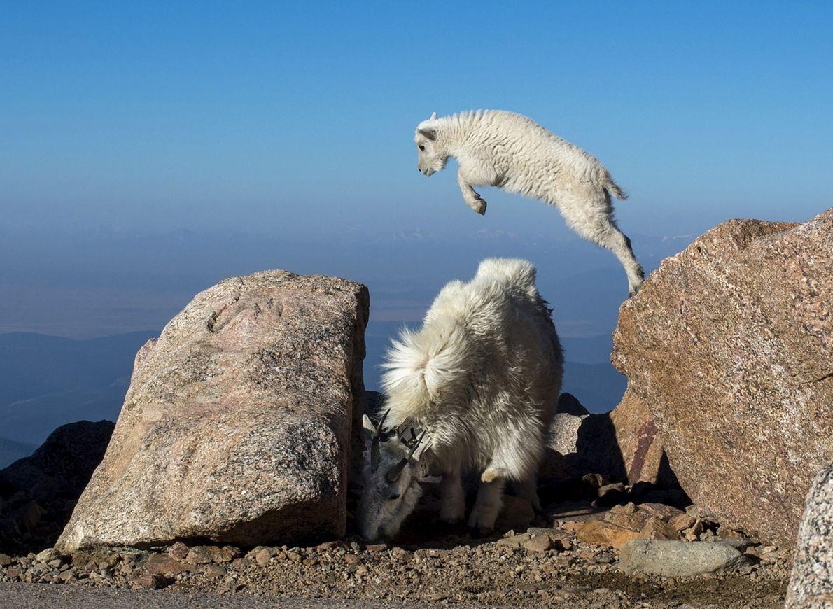 jovem cabra montesa salta de um rochedo