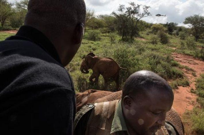 Uma cria é afastada depois da mãe ter sido neutralizada no Parque Nacional de Tsavo.