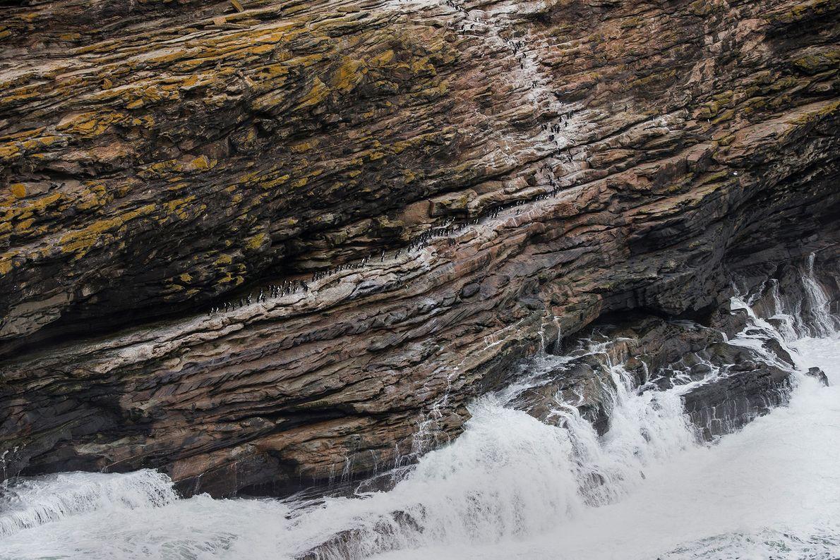 Pinguins-de-penacho-amarelo escalam um penhasco íngreme nas Malvinas. A pesca em excesso, a poluição e outras ameaças ...