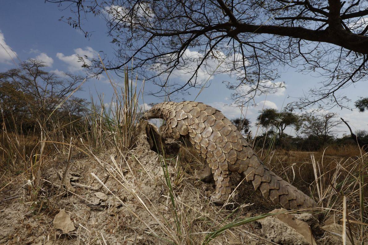 Um pangolim sobe a um monte de terra, tentando descobrir se está cheio de formigas.