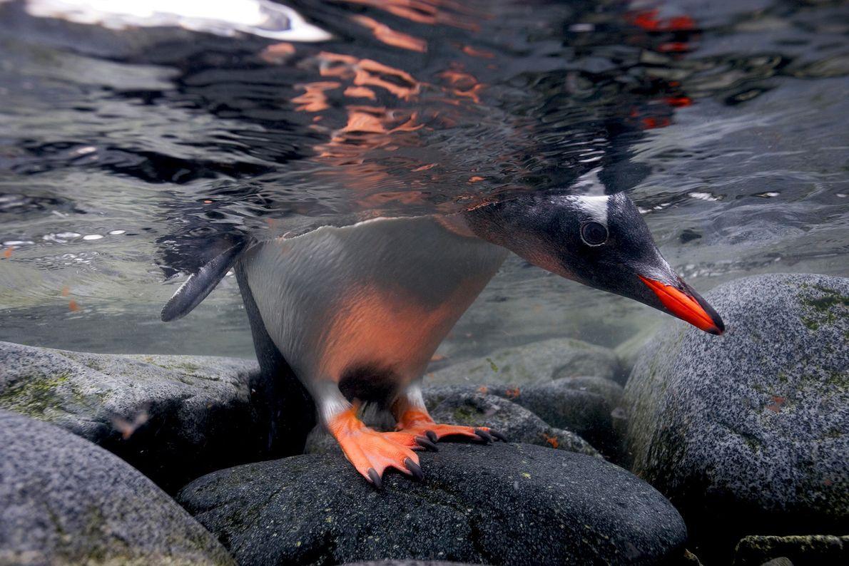 Um pinguim-gentoo a espreitar debaixo de água antes de mergulhar. Ao contrário de outras espécies de ...
