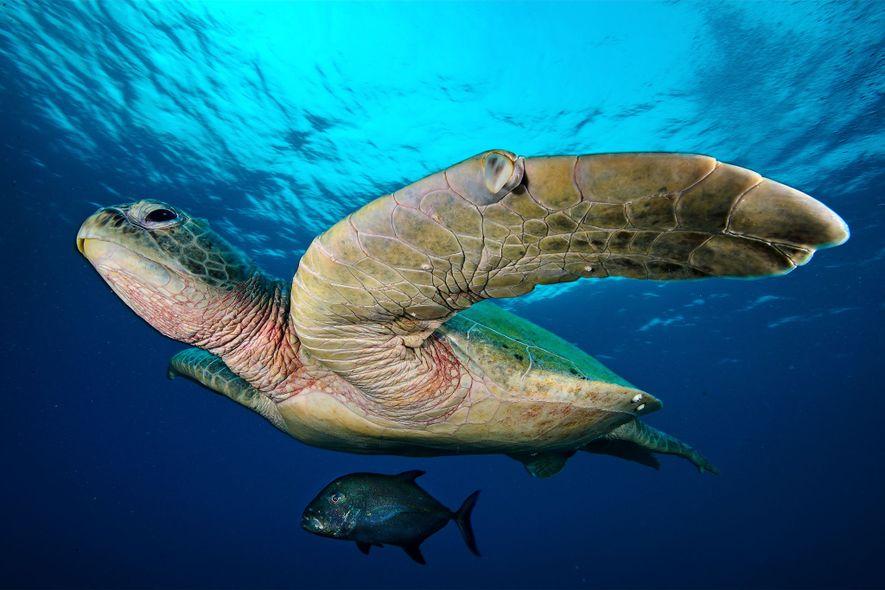 Um xaréu-preto nada debaixo de uma tartaruga-verde enorme junto a um atol localizado a norte, no ...