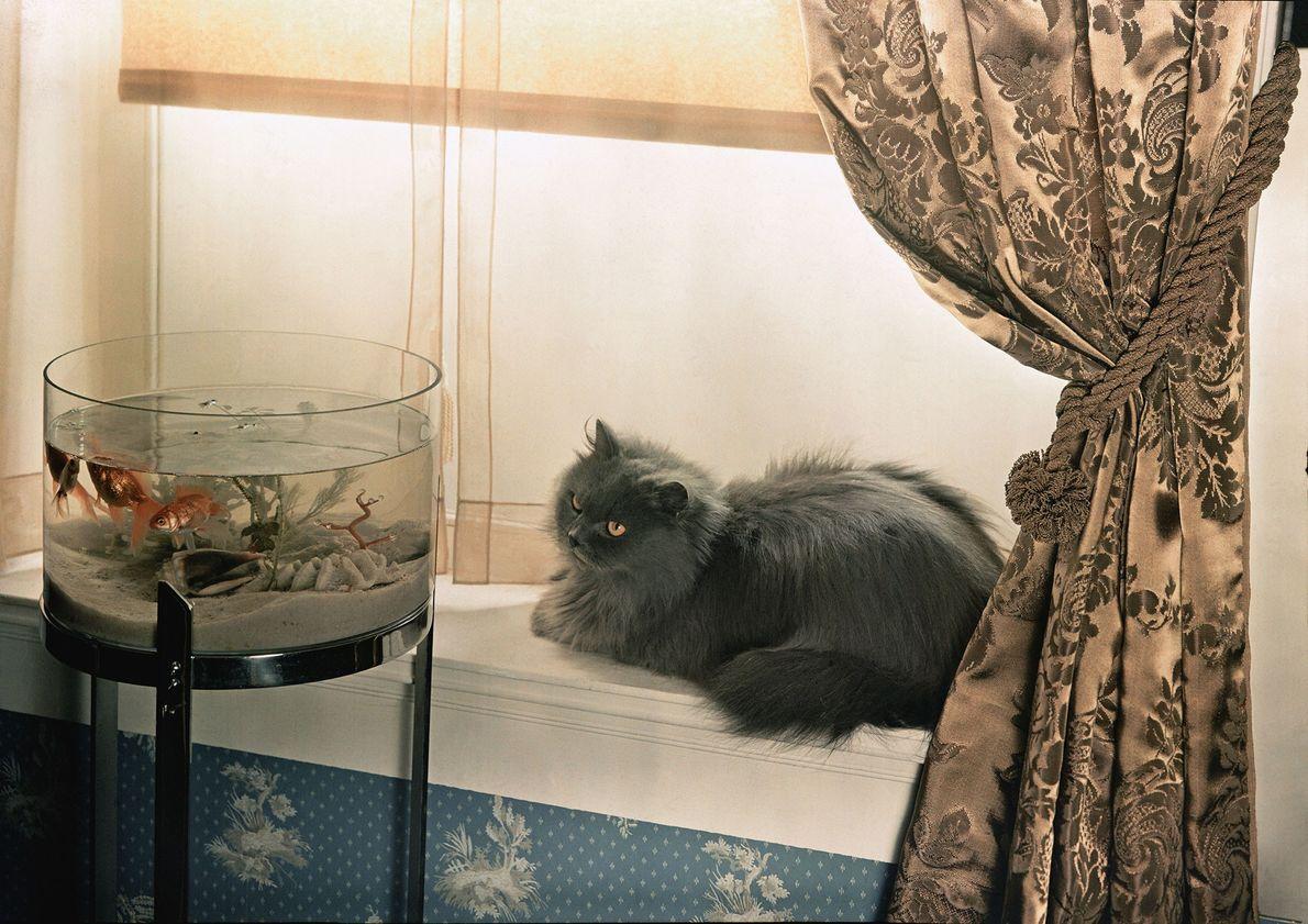 Um gato persa azul.