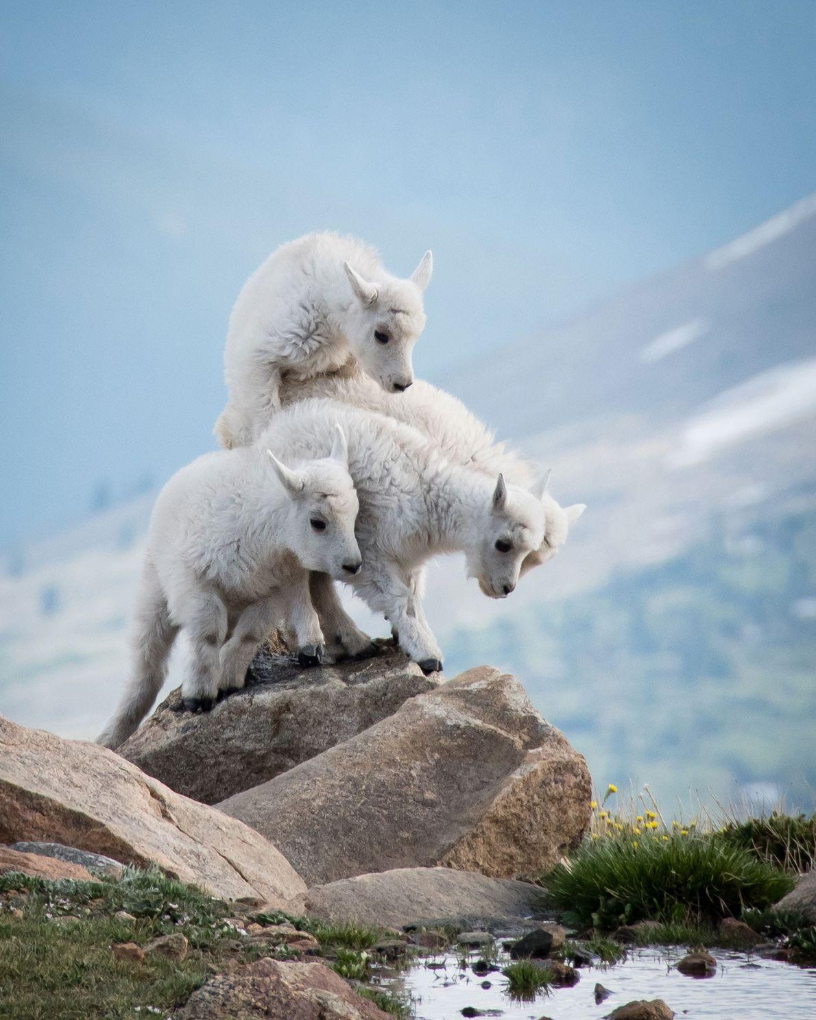 Cabras-das-rochosas. Monte Evans, Colorado, Estados Unidos