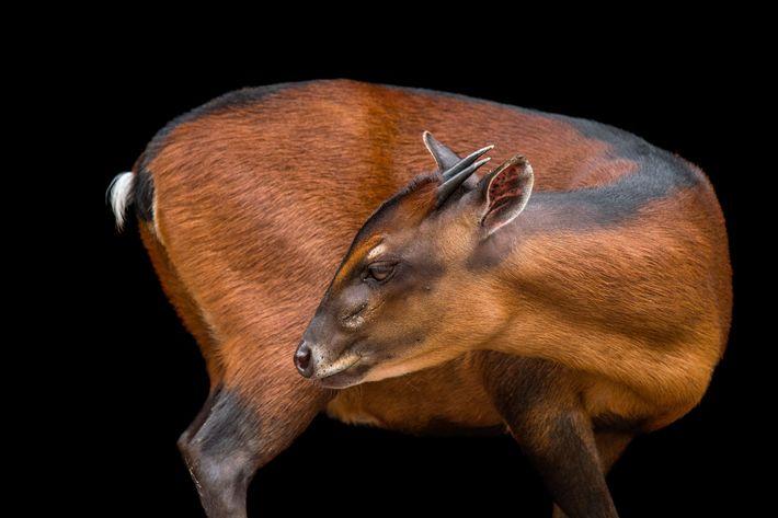 Cephalophus dorsalis ou bambi-castanho