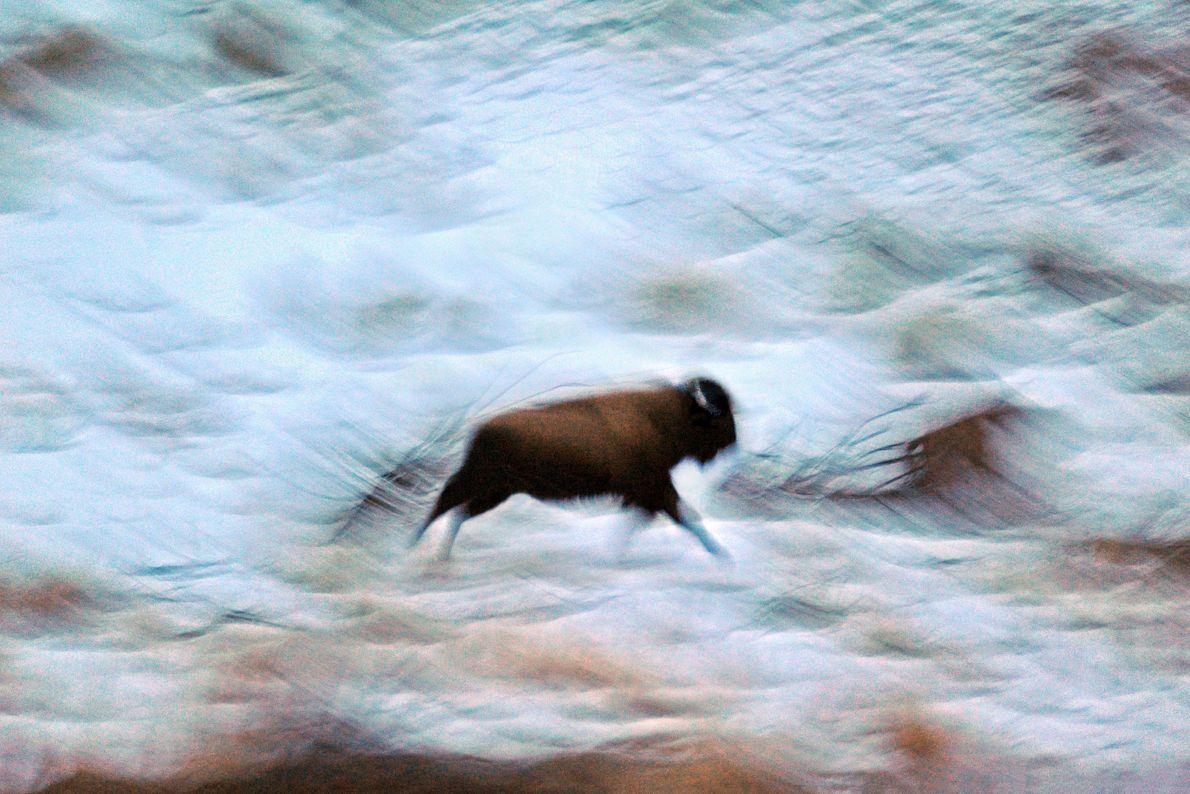 """""""Um bisonte solitário em fuga no inverno – a atravessar a tundra do Parque Nacional de ..."""