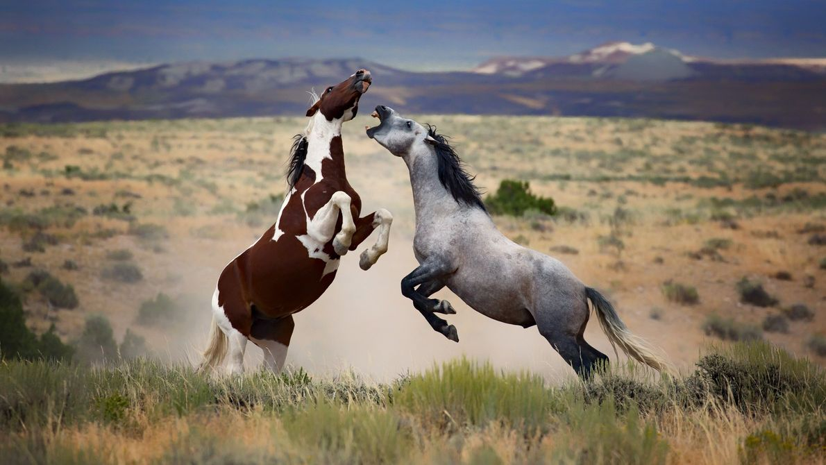 Manada de cavalos selvagens no Colorado
