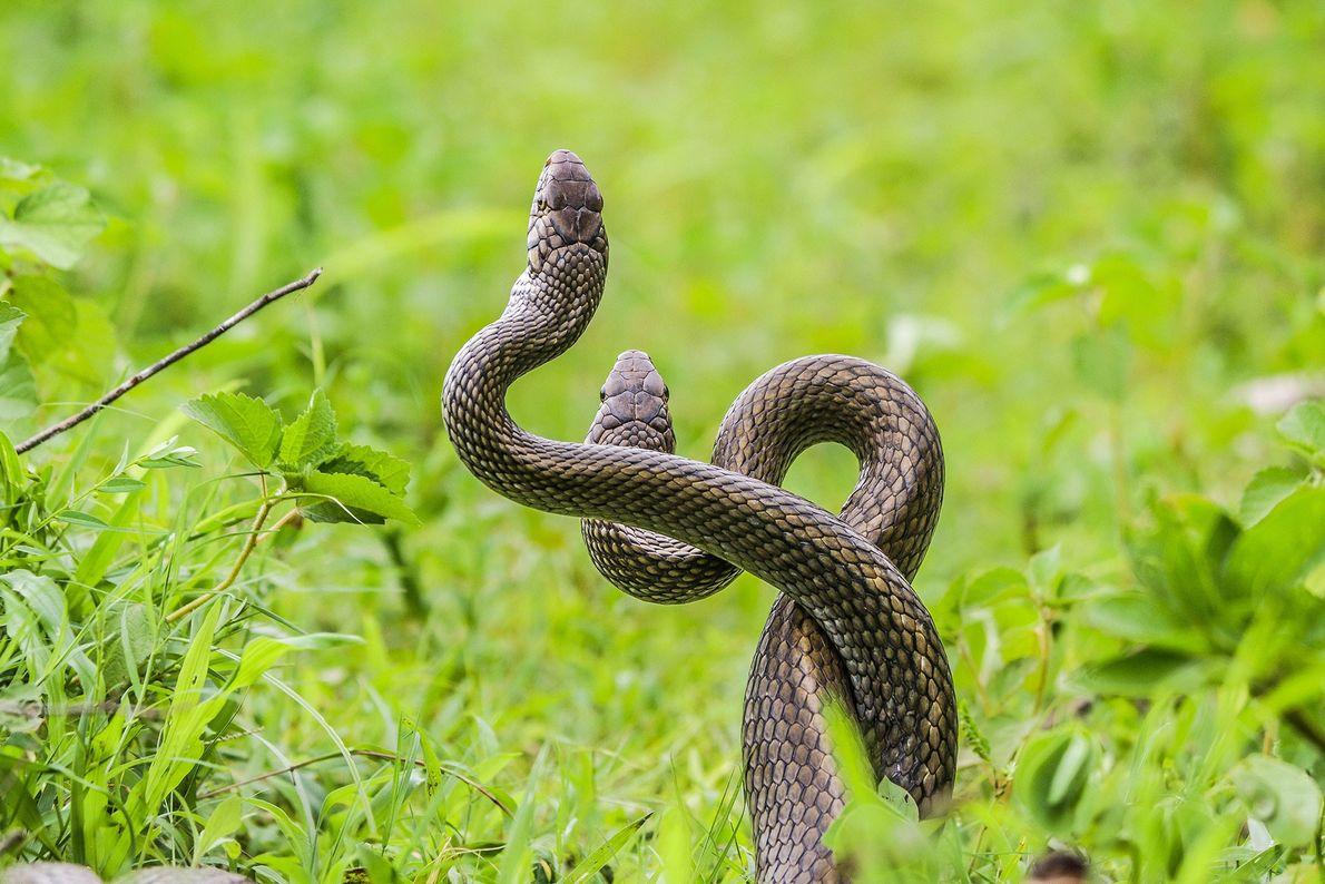 Cobras-rateiras-indianas envolvem-se em combate.