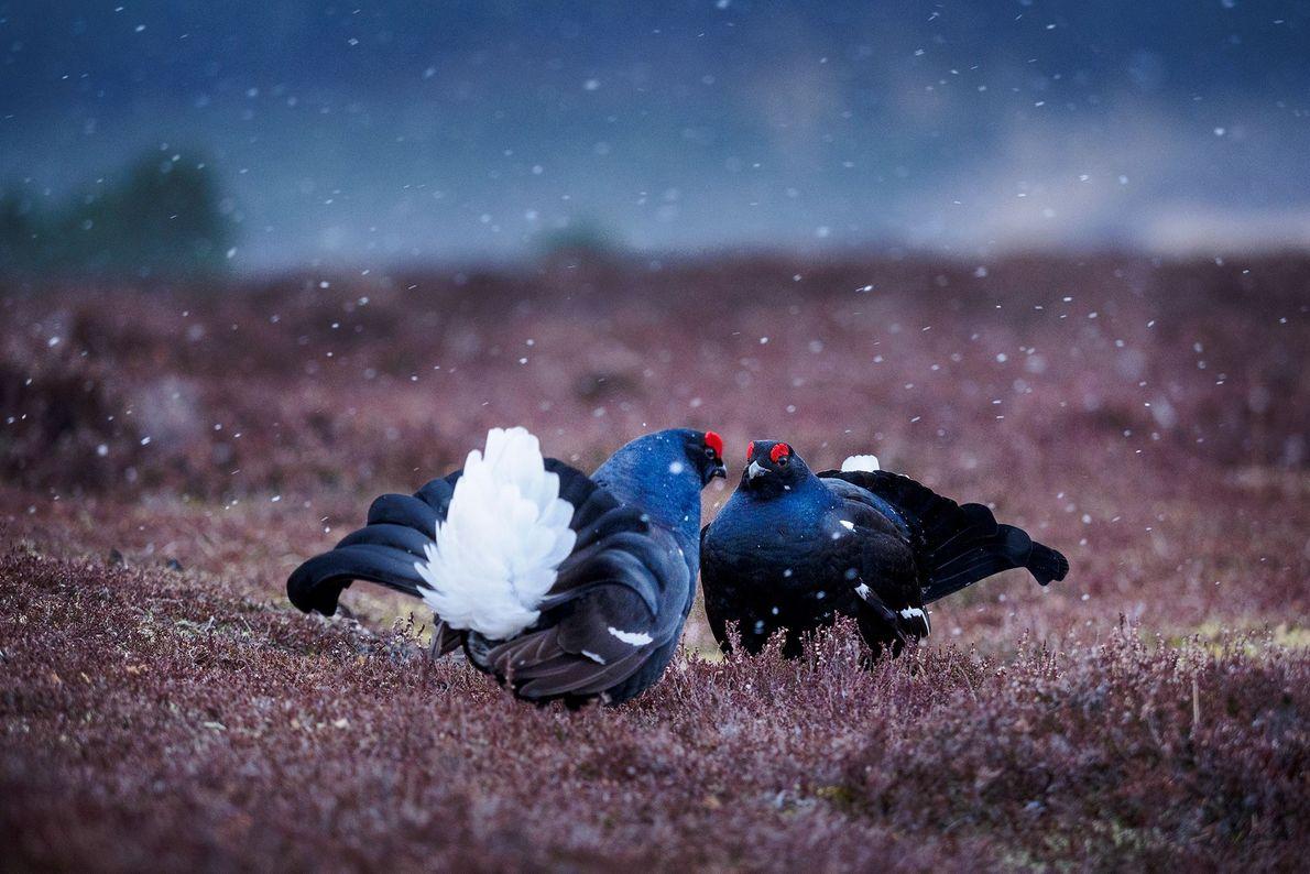 Galos-lira fazem o seu ritual matinal. Escócia