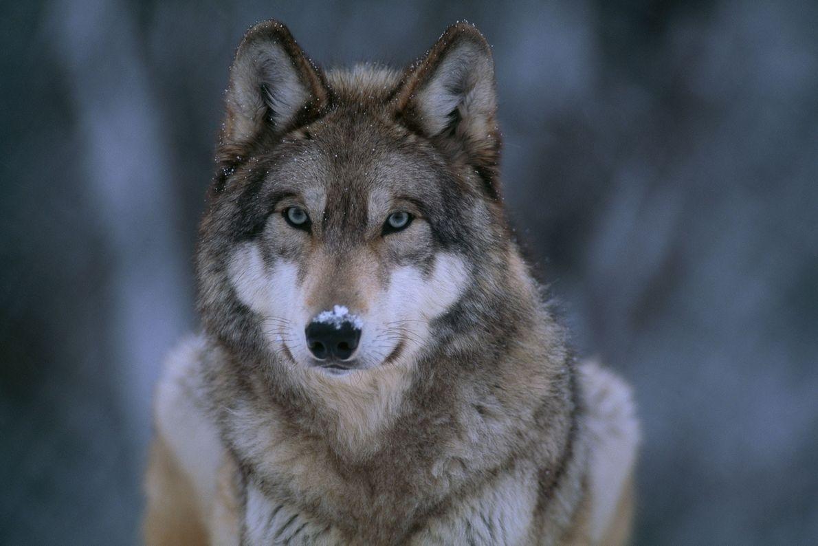 Lobo-cinzento (Canis lupus) na neve.