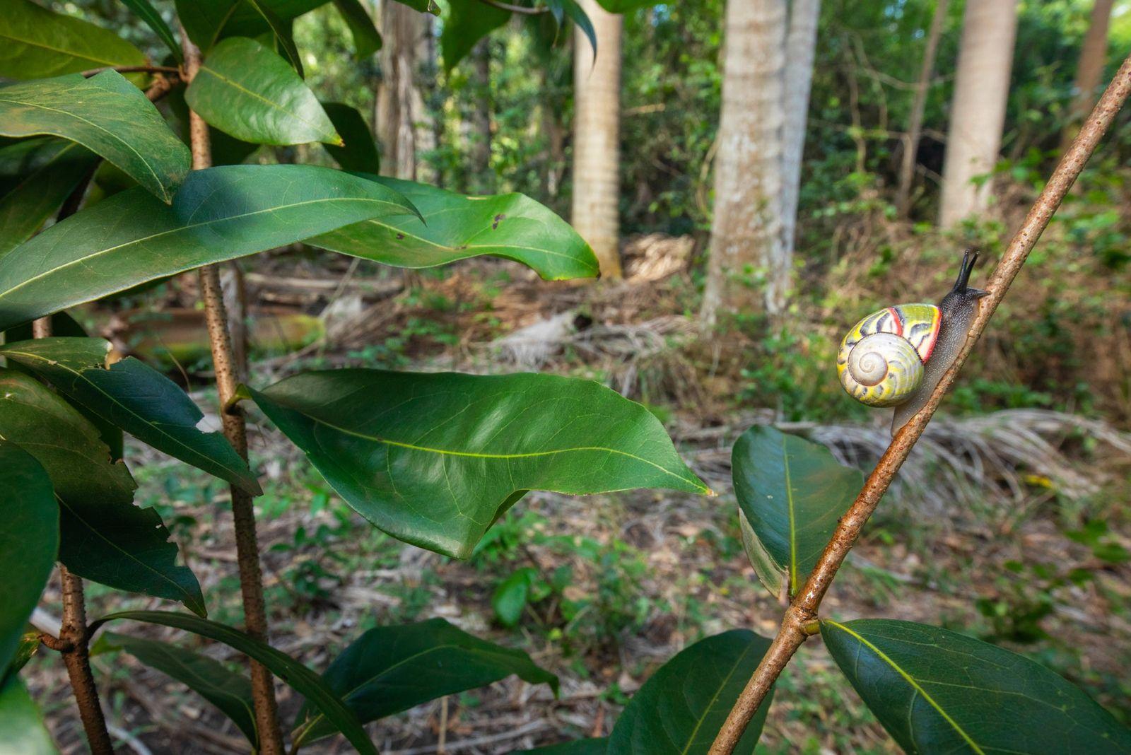 A espécie Polymita sulphurosa, que se encontra apenas em alguns trechos de floresta, pode ser a ...