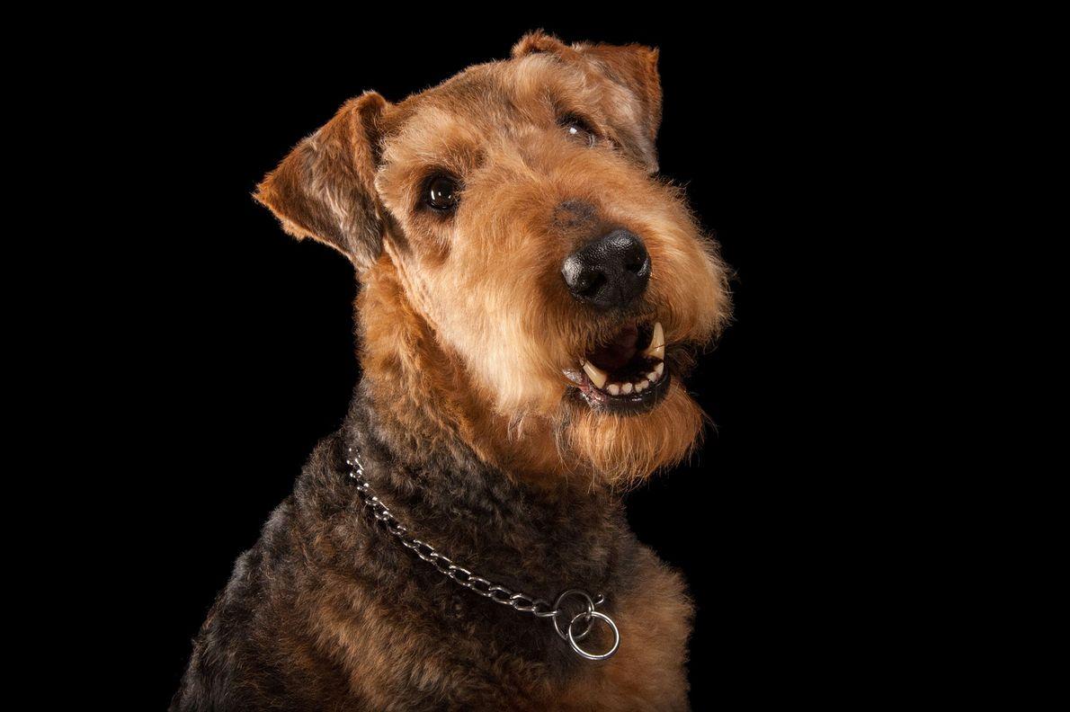 Um airedale terrier.
