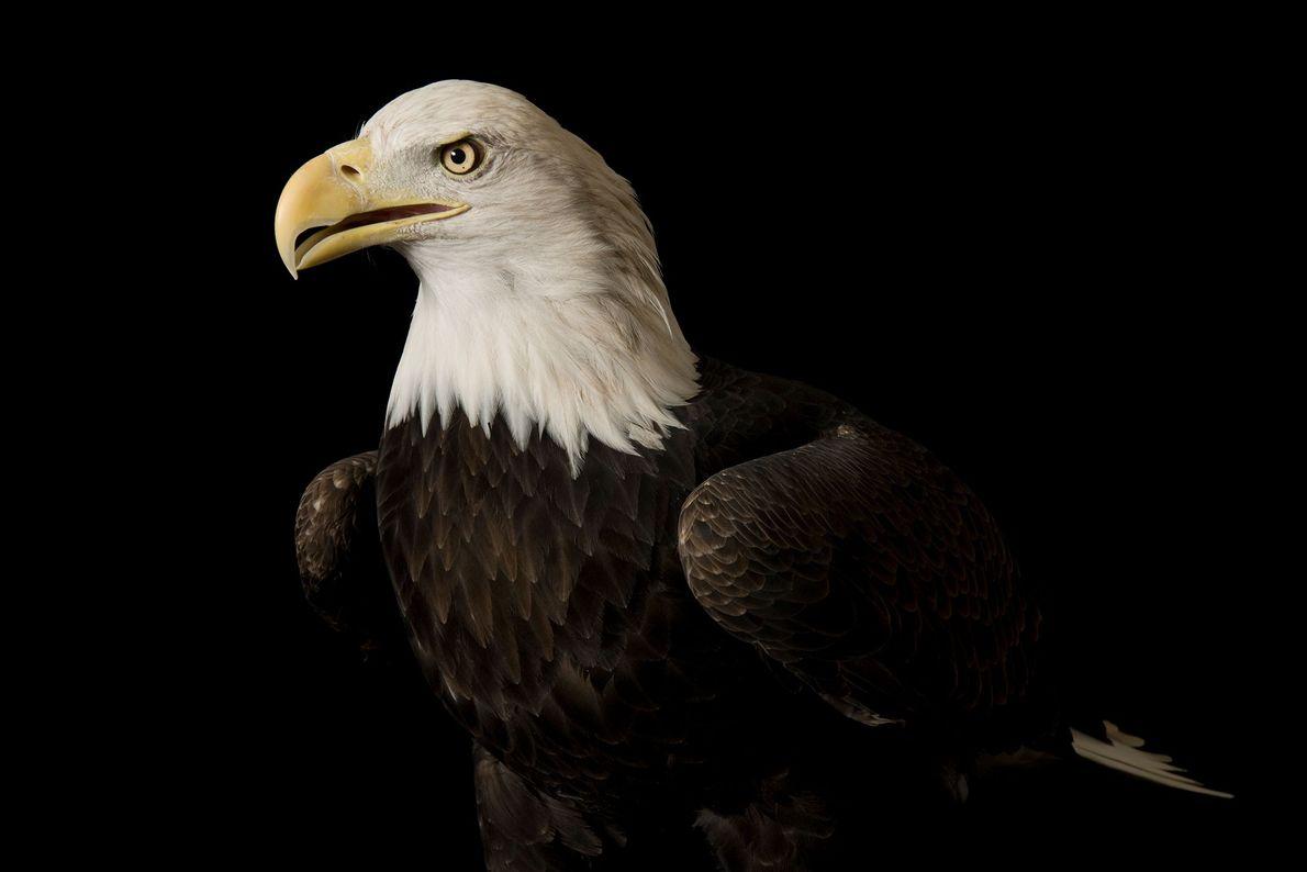 Espécies de águias - Uma águia-careca